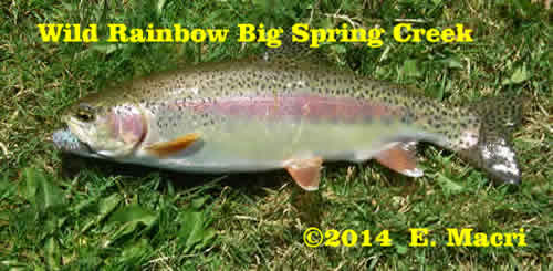 Wild Rainbow Trout from Big Spring Creek from Trout Stocking Wild Versus Hatchery Trout at www.riverscientist.com
